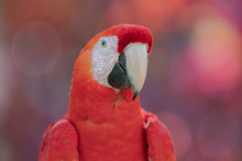 Scarlet Macaw (Ara Macao) Clos...