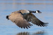 Canada Goose (Branta Canadensis), Germany, Europe