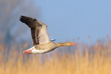 Greylag Goose, Anser Anser, Ge...