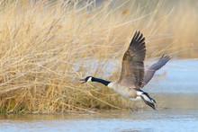 Flying Canada Goose (Branta Ca...