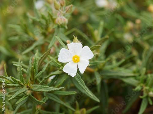 Fotomural Le Ciste de Montpellier en fleurs (Cistus monspeliensis), plante méditerranéenne