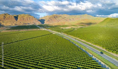 Obraz Olive Plantation in Bakersfield, California. - fototapety do salonu