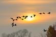 Greylag geese at sunrise, Anser anser, Germany, Europe