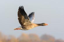Flying Greylag Goose, Anser An...