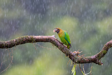 Brown-hooded Parrot (Pionopsitta Haematotis) On A Perch In The Rain