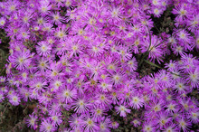Delosperma Cooperi Flowers, Also Known As Cooper's Iceplant , Hardy Iceplant