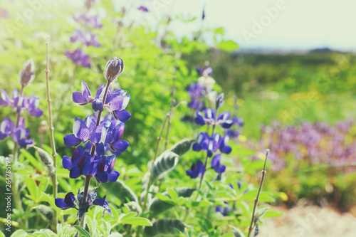 Photo  background of spring purple beautiful flowers. selective focus