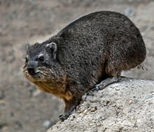 Rock Hyrax Also Called Rock Badger And Cape Hyrax. Latin Name - Procavia Capensis