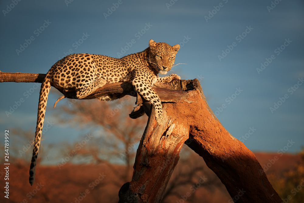Fototapeta African Leopard, Panthera pardus illuminated by beautiful light, female, resting on a dead tree, staring directly at camera against dark sky. Animal action scene.  Wildlife photography in Namibia.