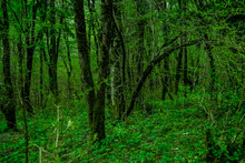 Thickets Of Green Forest Trees...
