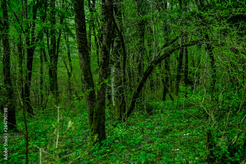 thickets of green forest trees in the moss nature in the mountains Fototapeta