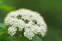 Flowering Shrub (Sambucus Nigra) In The Floodplain Forest. Also Known As Elder, Elderberry, Black Elder, European Elder, European Elderberry And European Black Elderberry.  Detail Of Flower.