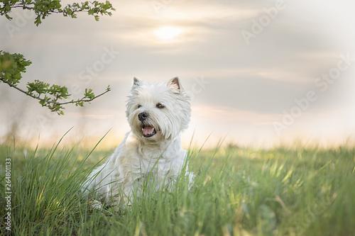 Foto  West Highland Terrier im Frühling