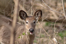 White Tailed Doe Deer In Fall Grazing During Hunting Season