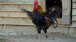 Beautiful rooster crowing