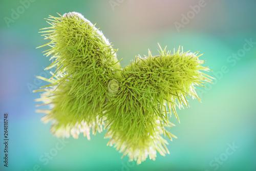 Fotografie, Obraz  Stachelige Schmetterlingsform von Edelkastanie