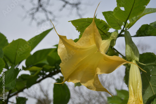 Stunningly Pretty Yellow Angel's Trumpet Flower Blooming