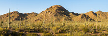 A Panoramic View Of Saguaro And Other Cacti As They Dominate The Sonoran Desert Landscape