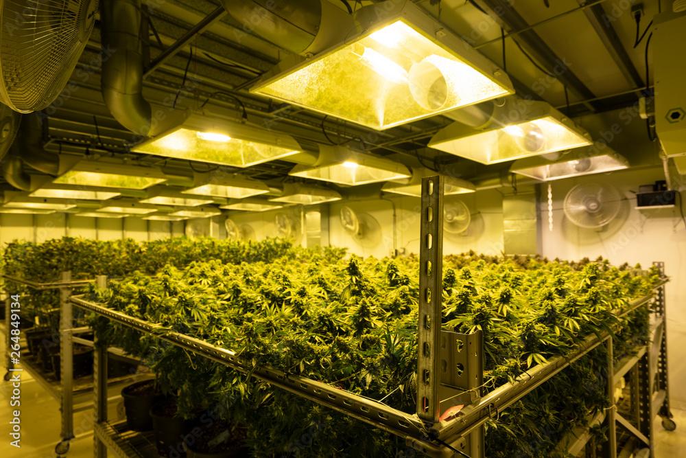 Fototapety, obrazy: Cannabis