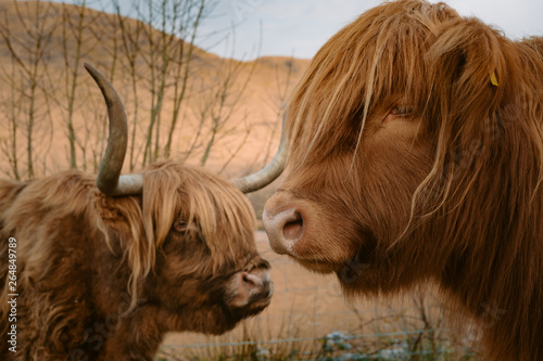 Fototapeta Low shot of Scottish highland cow laying down and eating. An highland cow with a very long tuft of reddish hair watch straight in the camera near a gravel road  obraz