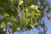 Leaves And Fruits Of A Canadian Poplar (Populus X Canadensis)