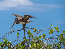 Beautiful Galapagos Brown Pelican Bird Extending Its Wings