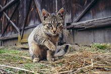 Cat In Front Of Wooden Barn In...