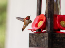 Hovering Humming Bird At The F...