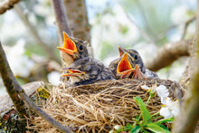 Group Of Hungry Baby Birds Sitting In Their Nest On Blooming Tree With Mouths Wide Open Waiting For Feeding. Young Birds Cry