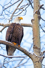 Bald Eagle On The Lookout In A...