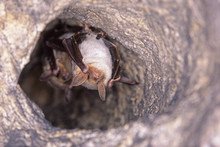 Close Up Two Strange Animals Greater Mouse-eared Bats Myotis Myotis Hanging Upside Down In The Hole Of The Cave And Hibernating. Wildlife Photography.