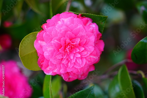 Poster Rose A pink camelia japonica flower in bloom