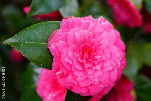 Garden Poster Pink A pink camelia japonica flower in bloom