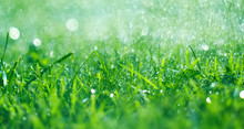 Grass With Rain Drops. Waterin...