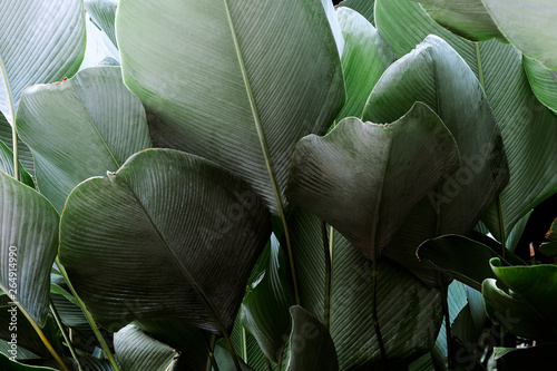 Dark green leaf in tropical jungle nature background - 264914990