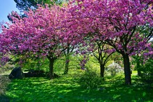 Pink Flowering Tree Over Nature Background - Spring Tree -  Spring Landscape. Closeup View O Flower Cherry Blossoms, Prunus Serrulata
