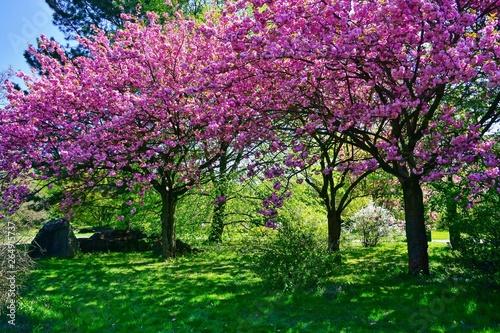 Leinwand Poster Pink flowering tree over nature background - Spring tree -  Spring landscape
