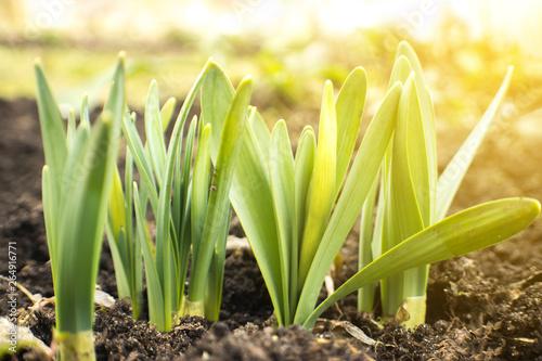 La pose en embrasure Narcisse Young Narcissus buds sprout