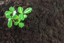 Young Strawberry Sprout