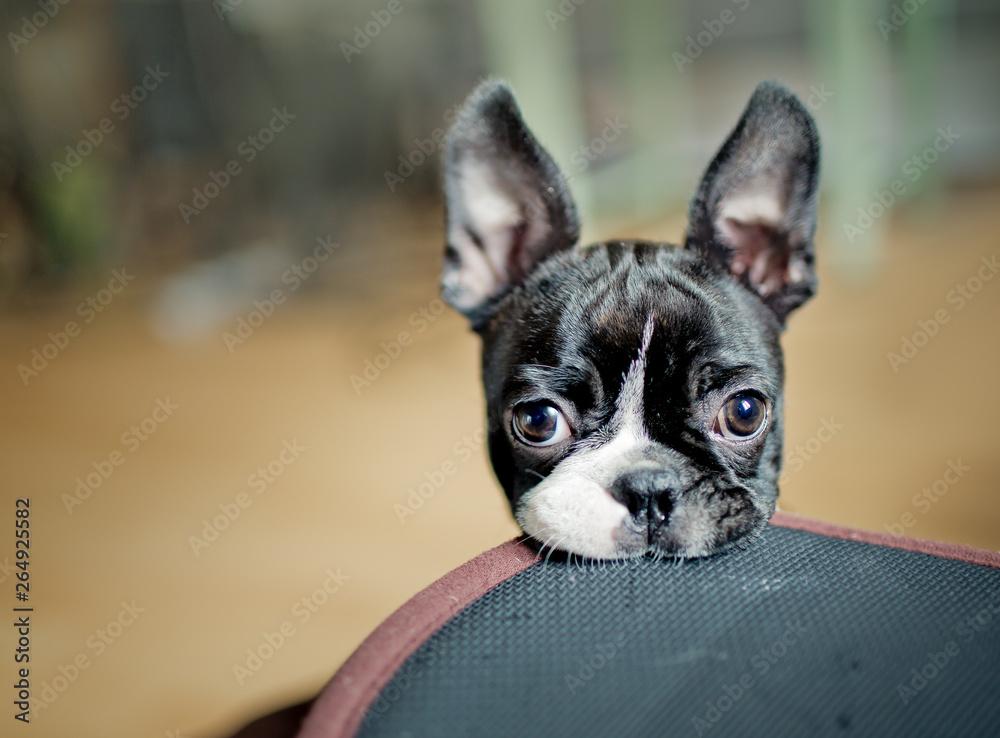 Fototapety, obrazy: Boston Terrier Puppy
