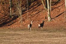 Flock Of Deerskin Running Inside The Forest To Hide Before Enemy