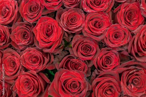 Red roses background. Fresh red and burgundy roses. Red rose buds #264929977