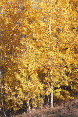 Fototapeta Brzoza beautiful scene with birches in october among other birches in birch grove
