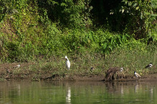 White Heron And Other Birds Near The Water In Chitwan National Park, Nepal