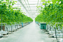 Growing Green Cucumbers In A Large And Bright Greenhouse. Small Green Cucumbers On The Farm