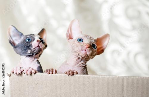 Photo Hairless sphinx cats.