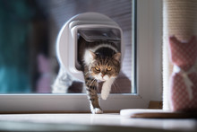British Shorthair Cat Entering The Room By Passing Through A Catflap In Window On A Sunny Day