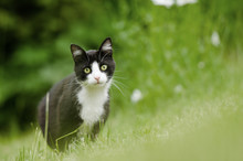 Black And White Cat Hunting In High Grass Area Looking At Camera