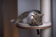 tabby white british shorthair cat lying on platform of scratching post looking up