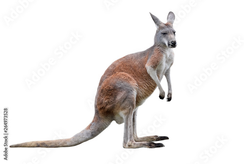 Foto op Canvas Kangoeroe Male kangaroo isolated on white background. Big kangaroo full lengths.